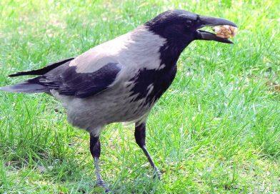 Corvus cornix