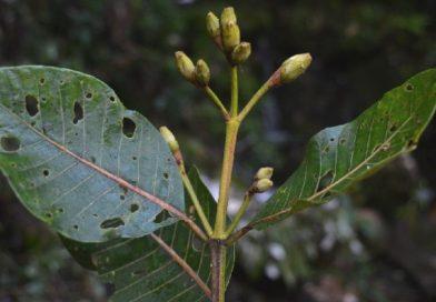 Ladenbergia macrocarpa