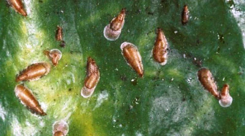 Lepidosaphes beckii