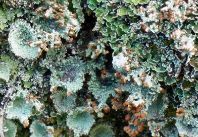Cladonia pyxidata