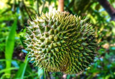 Come si coltiva il Durian