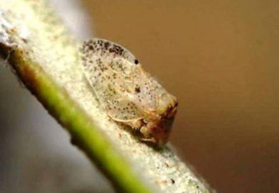 Euphyllura olivina