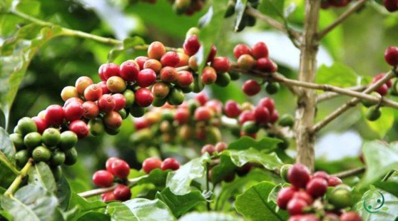 Come coltivare il caffè