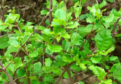 Commiphora habessinica