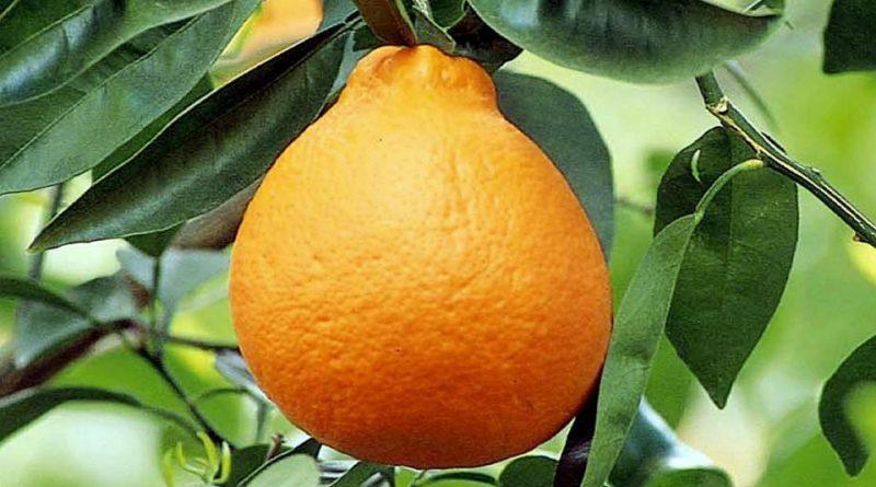 Citrus × tangelo