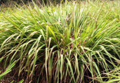 Cymbopogon nardus