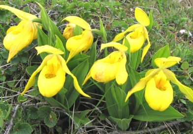 Cypripedium pubescens