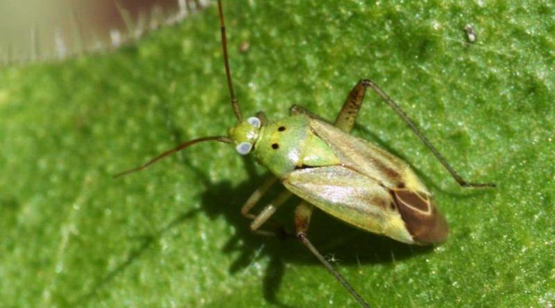 Calocoris norvegicus