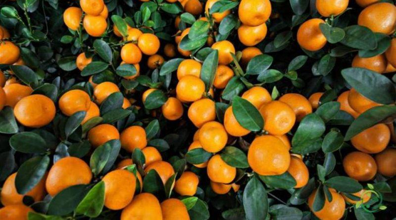 Quando si pota il Mandarino