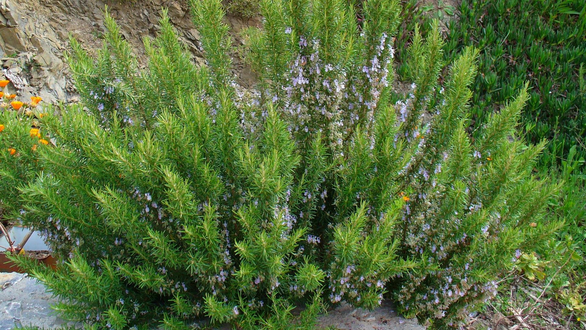 Rosmarino Secco Alla Base rosmarinus officinalis: sistematica, etimologia, habitat