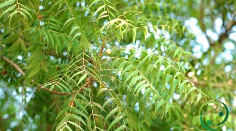 insetticida naturale con l'olio di Neem