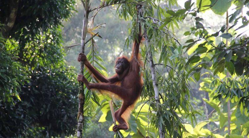 oranghi uccisi dall'olio di palma