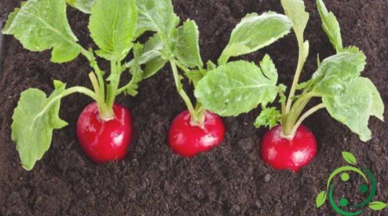 Come coltivare i ravanelli