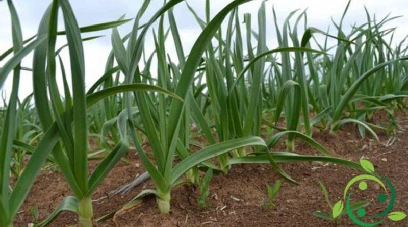 Come coltivare l'aglio in maniera biologica