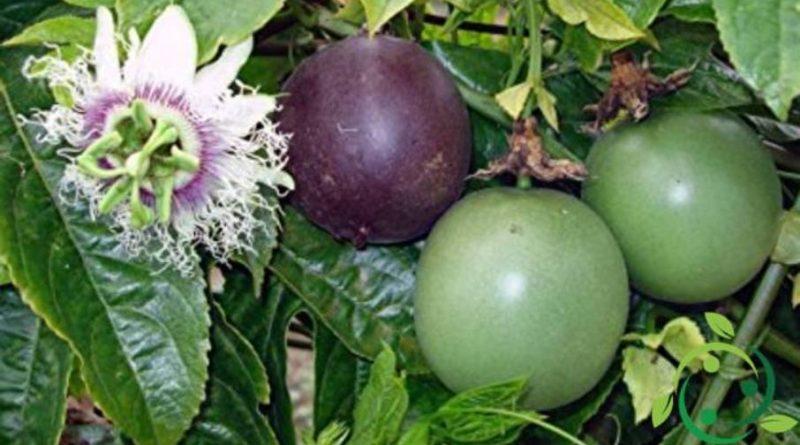 Come coltivare il frutto della passione