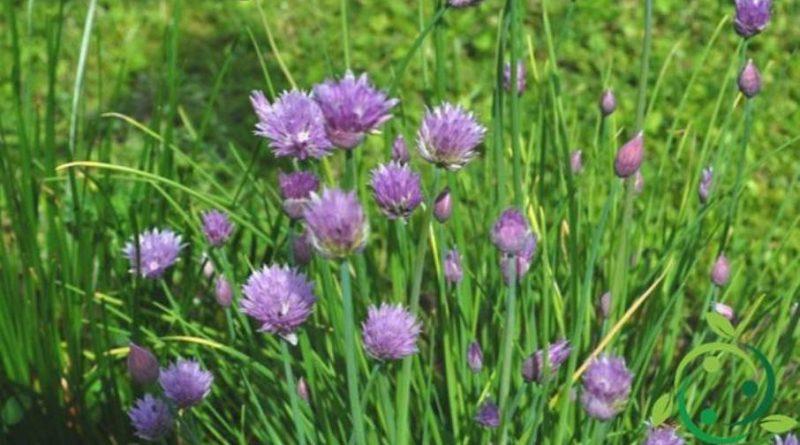 Come coltivare l'erba cipollina in maniera biologica