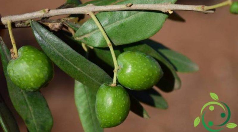 Come coltivare l'olivo in maniera biologica