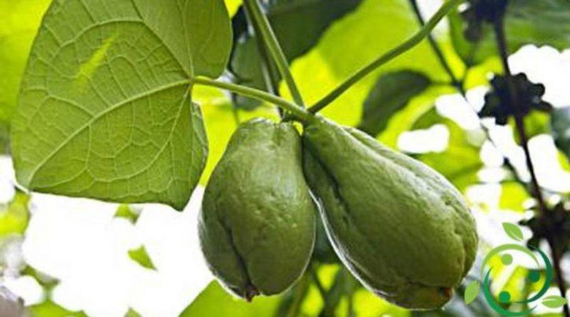 Come coltivare la zucca spinosa in maniera biologica