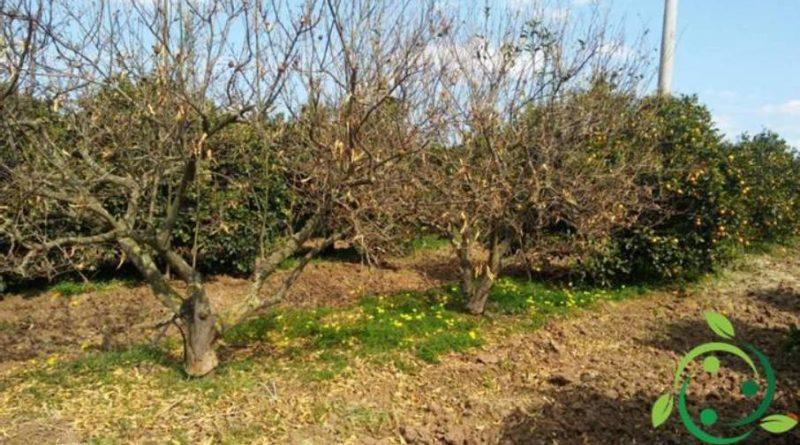 Come combattere il mal secco degli agrumi