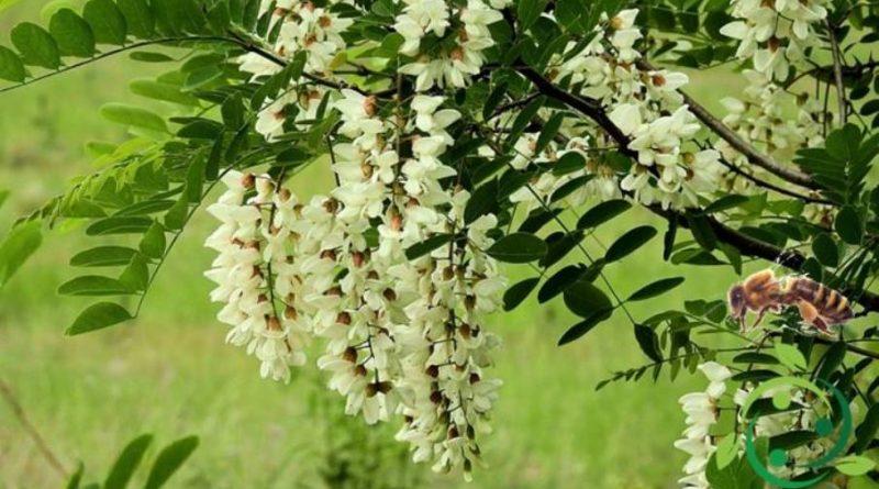 Come produrre il miele di Acacia biologico