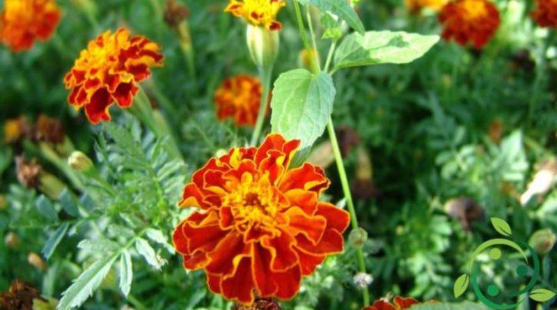 Il Tagete, una pianta contro i nematodi