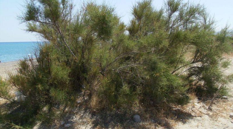 Tamarix gallica