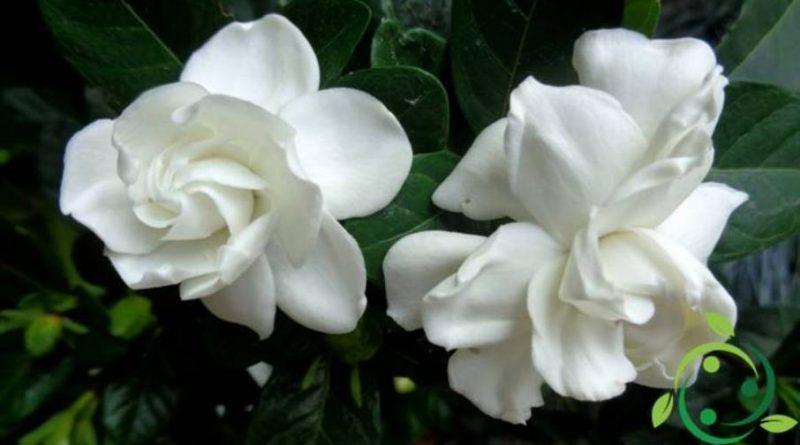 Come coltivare la Gardenia