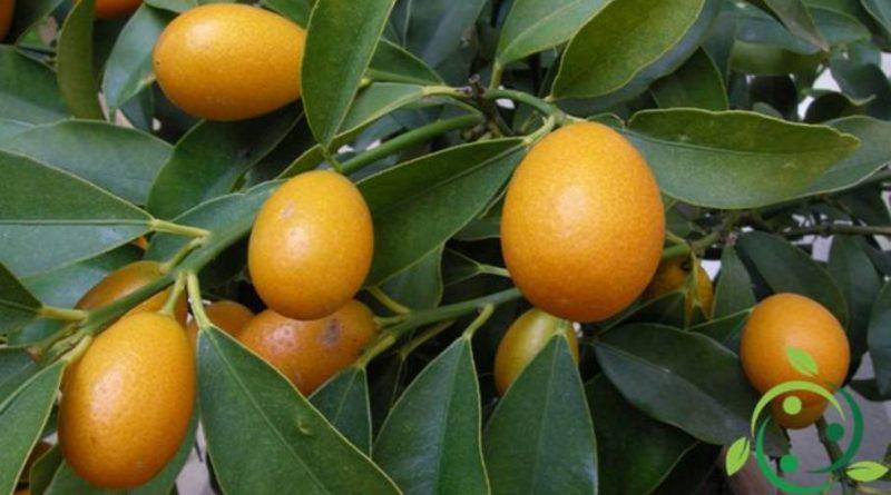 Come coltivare il Kumquat