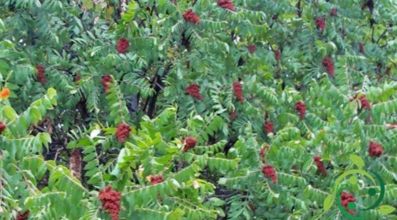 Come si coltiva il sommacco