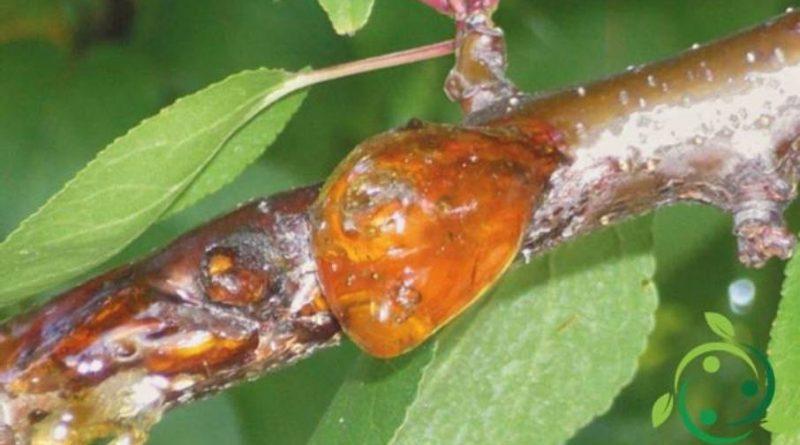 Come combattere la gommosi dell'albicocco in maniera biologica