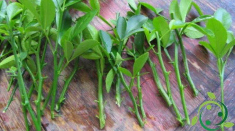 Come si prepara una talea di agrumi