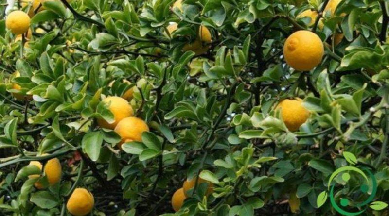 Come coltivare l'arancio trifogliato