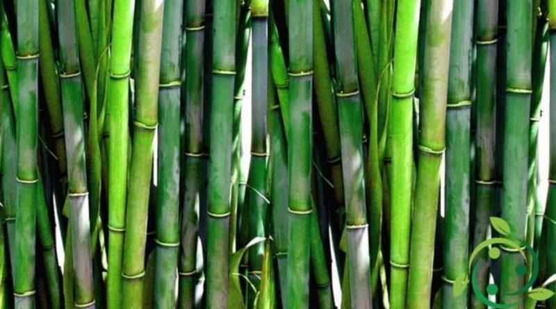 Come coltivare il bambù