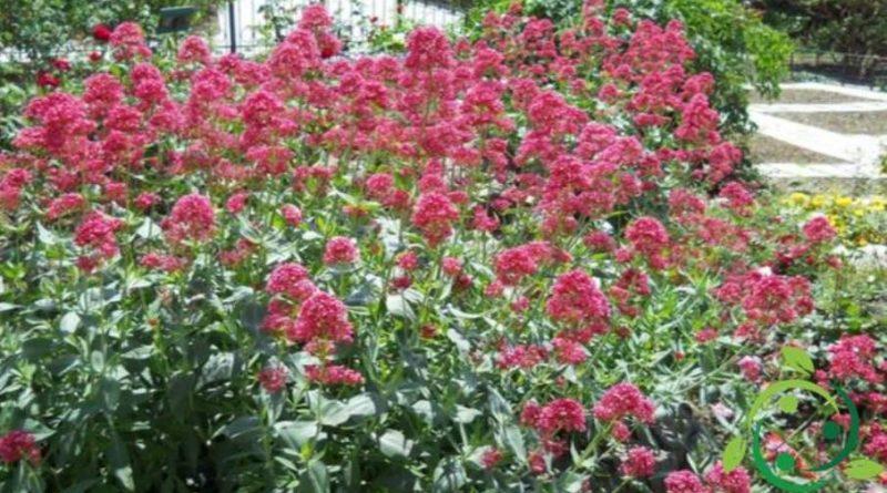 Come coltivare la Valeriana rossa
