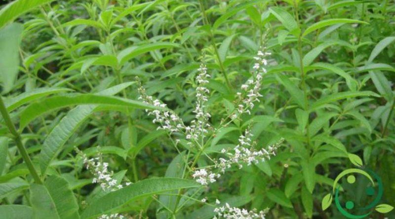Come coltivare la Verbena odorosa