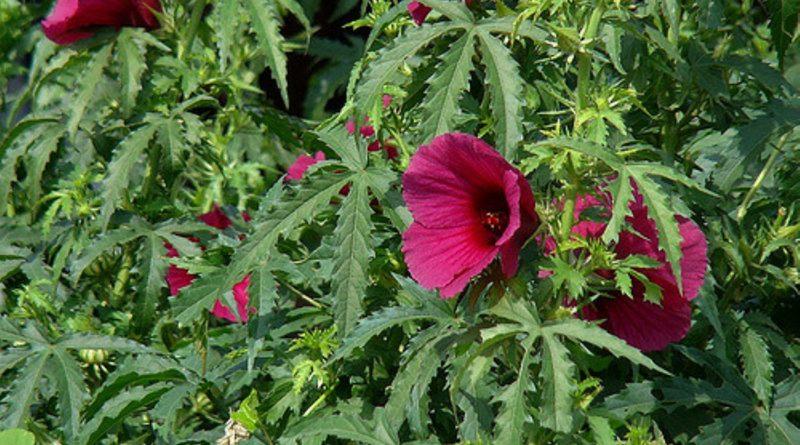 Hibiscus Cannabinus Sistematica Etimologia Habitat Descrizione