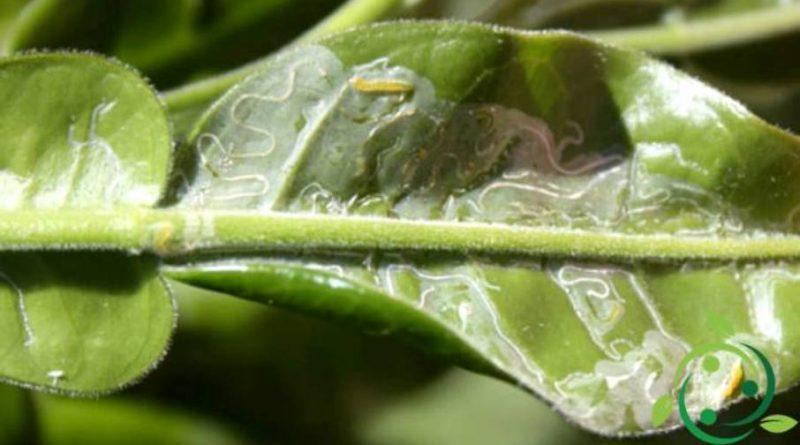 Lotta biologica alla minatrice serpentina degli agrumi