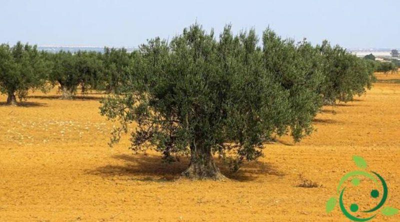 Come potare l'olivo