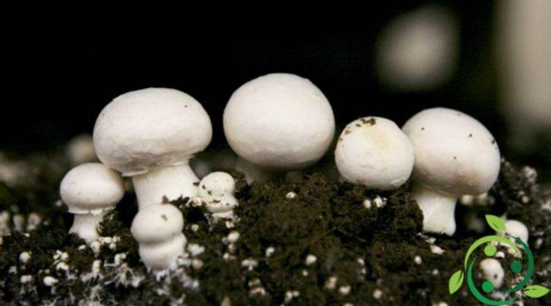 Come coltivare i funghi prataioli