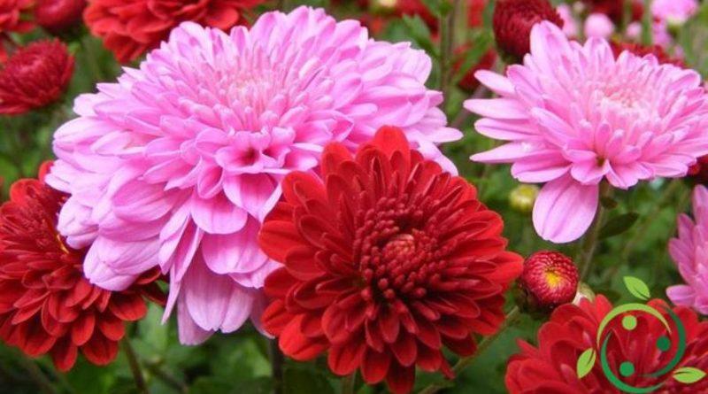 Come coltivare i crisantemi