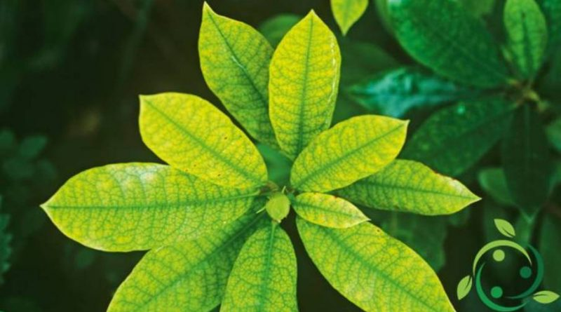 Ruolo del ferro nelle piante