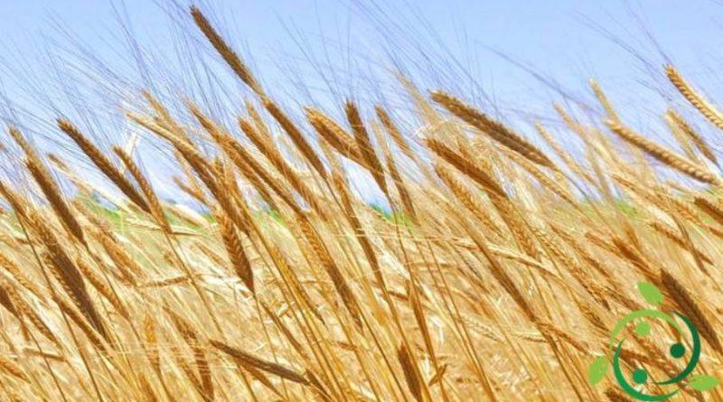 Come coltivare il farro in maniera biologica