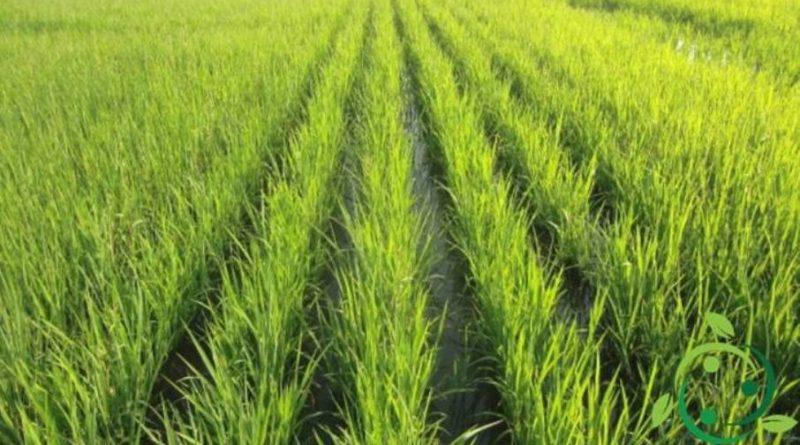 Come coltivare il riso in maniera biologica