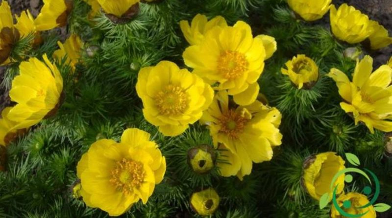 Come coltivare l'adonide di primavera