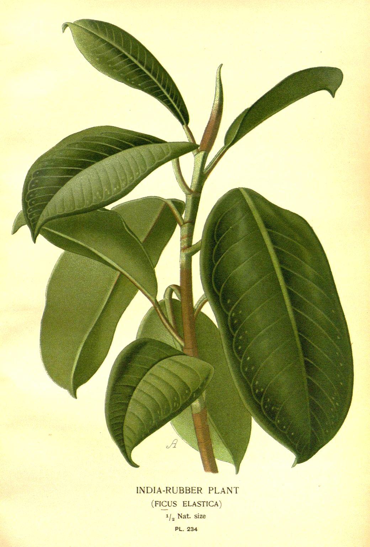 Come Riprodurre Il Ficus Benjamin italiano) ficus elastica: sistematica, etimologia, habitat