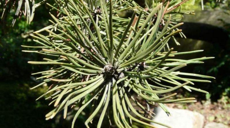 Pinus mugo subsp. uncinata