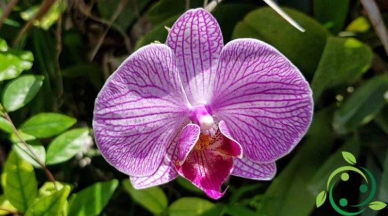 Come coltivare la Phalaenopsis