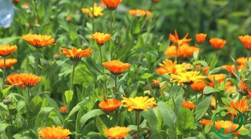Olio essenziale di Calendula – proprietà ed usi