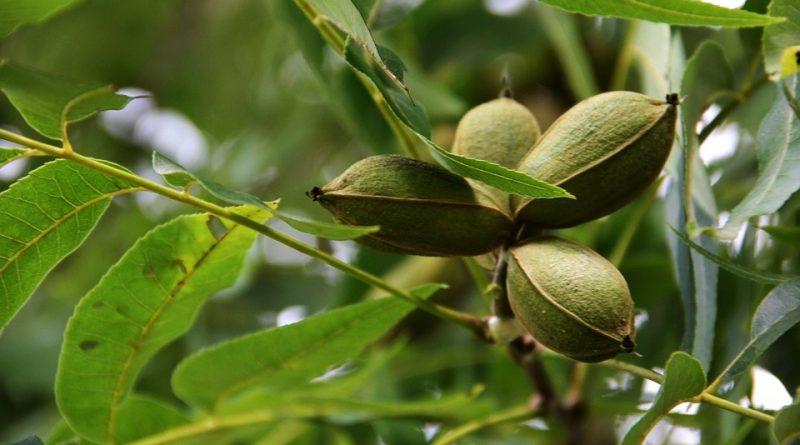 Carya illinoensis