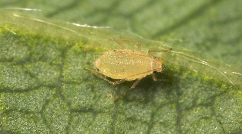 Chaetosiphon fragaefolii